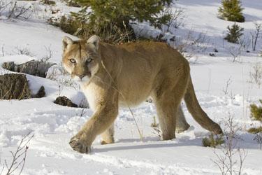 Cougar-01-0.jpg